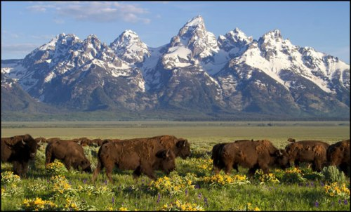 grand-tetons-bison